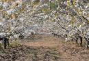 Cerejeiras em flor: Fundão convida a passeios e deslumbramentos