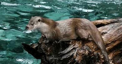 Lontra foi filmada a nadar no rio em Braga